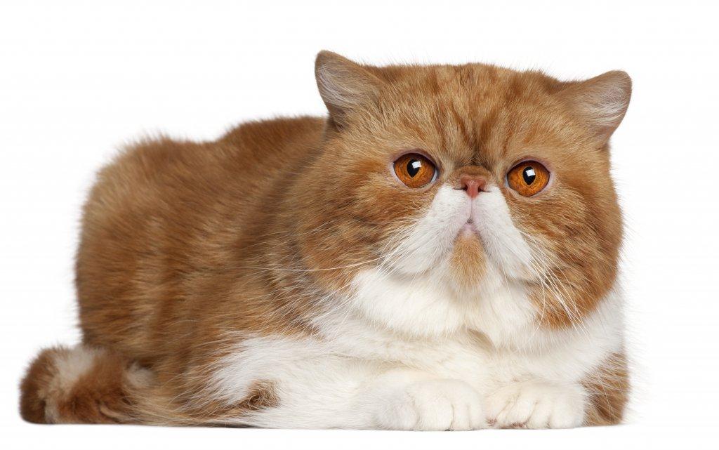 2,5 yaşında exotic shorthair kedisi