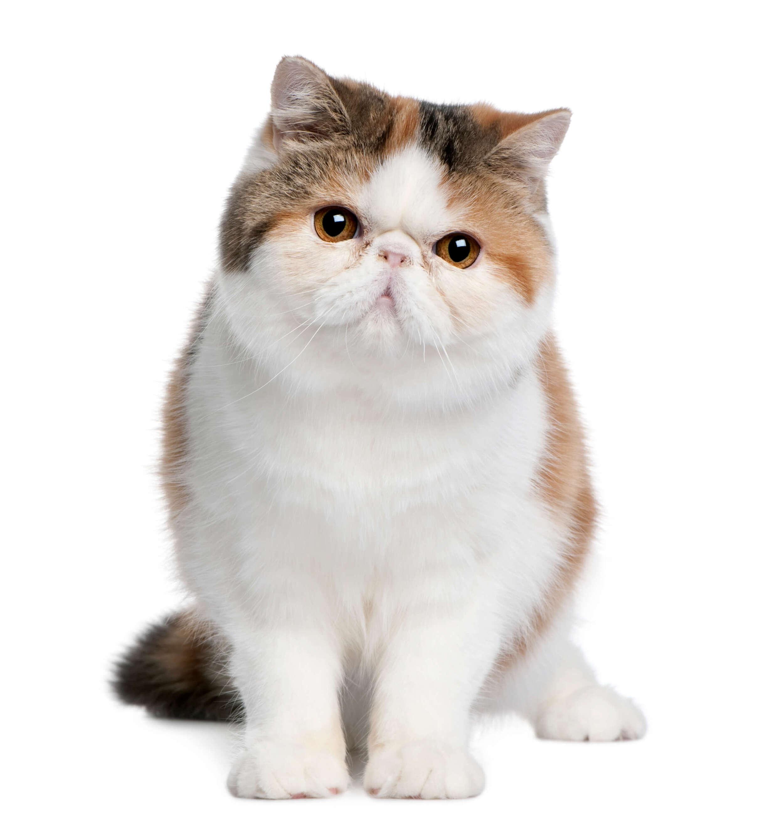 8 aylık exotic shorthair kedisi