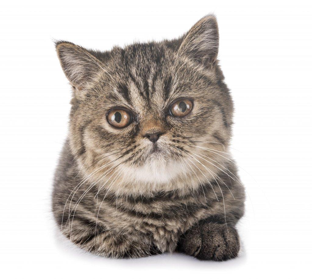 tekir desenli cins kedi