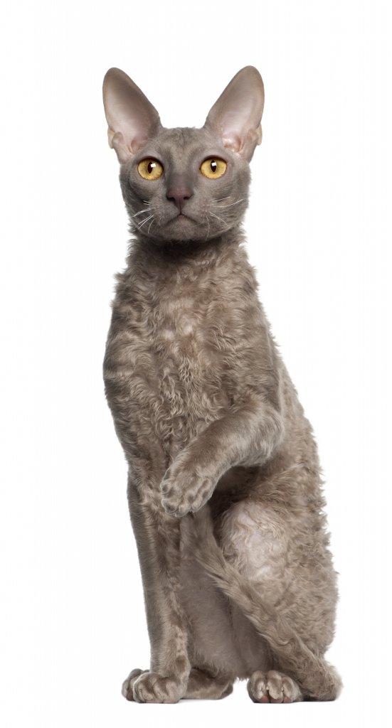 9 aylık cornish rex kedisi portresi