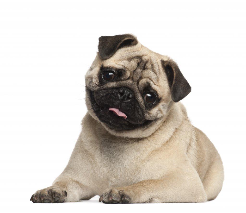 9 aylık pug köpeği