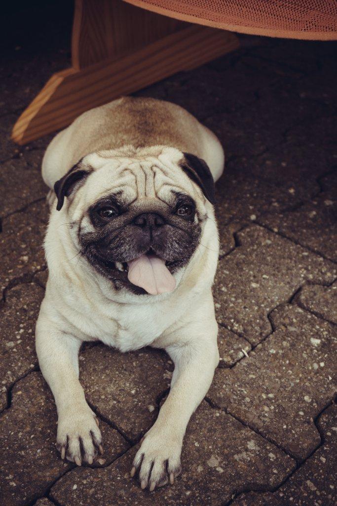 taş parke zeminde yatan köpek