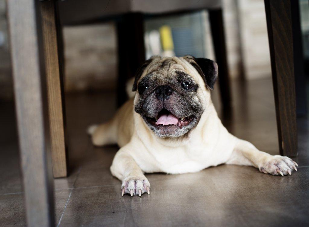 masa altında yatan şirin köpek