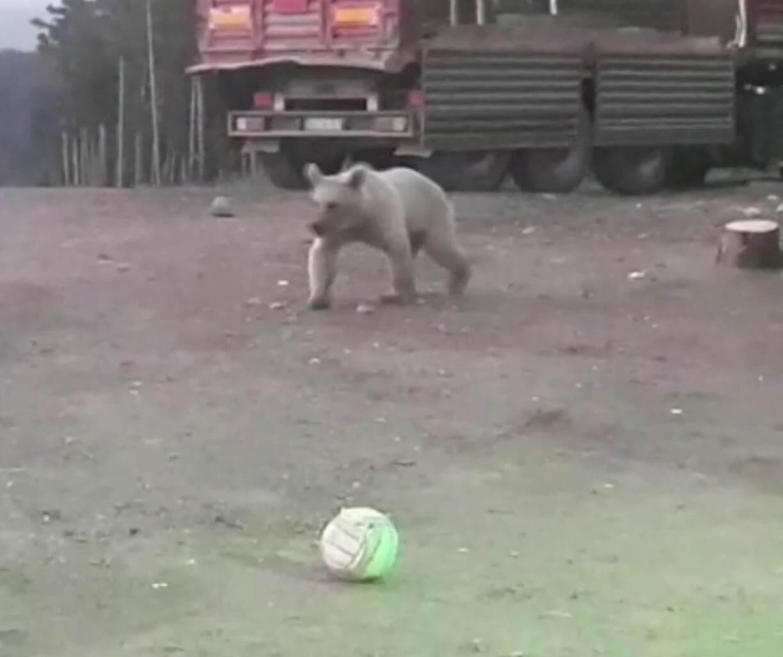 Topla oynayan ayı