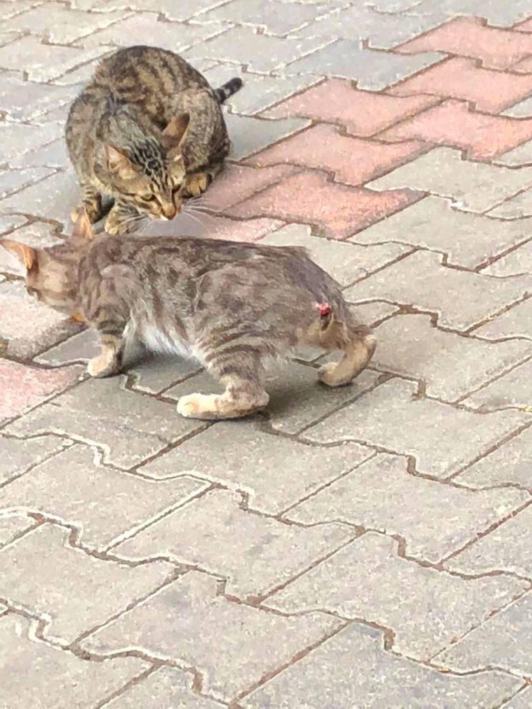 izmir karşıyaka kuyruğu kesilen kedi