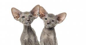 peterbald kedisi yavruları
