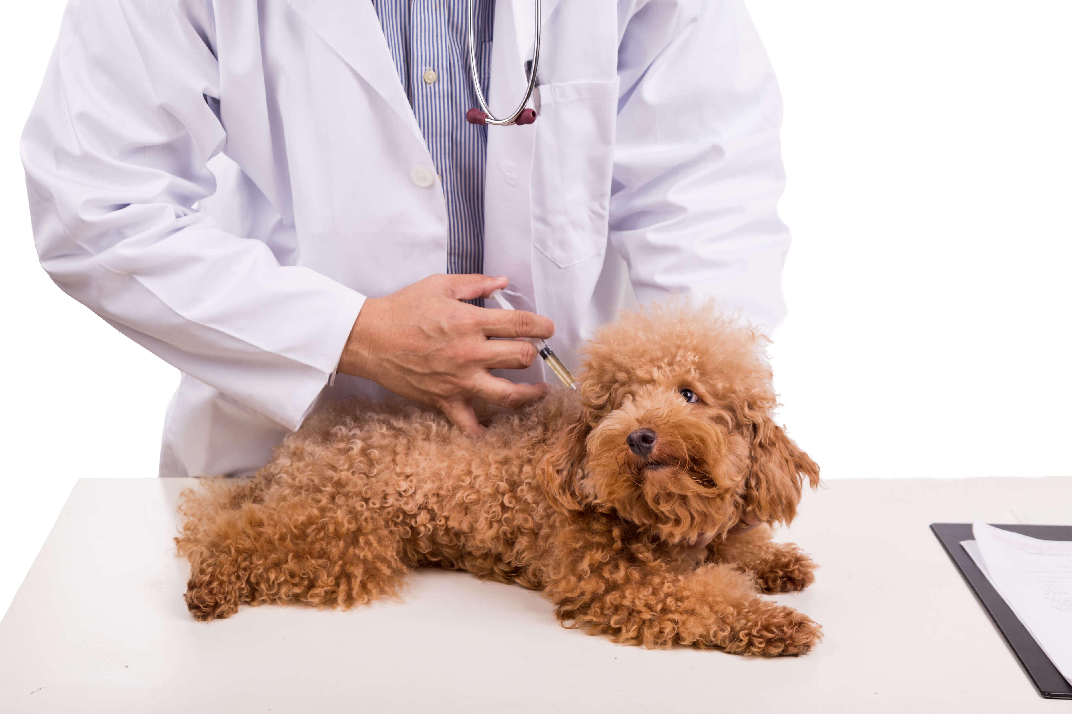 veteriner köpeğe aşı yapıyor