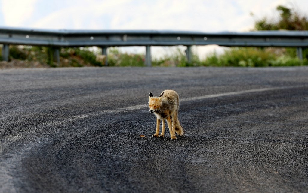 yol kenarına inen tilki