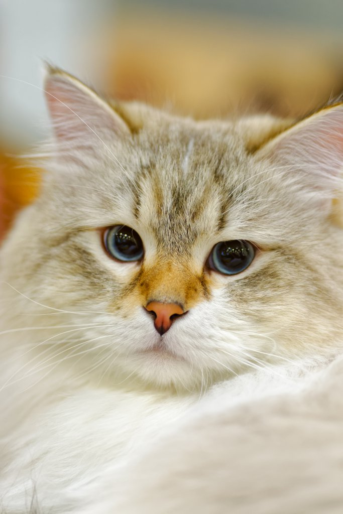 genç ragamuffin kedisi
