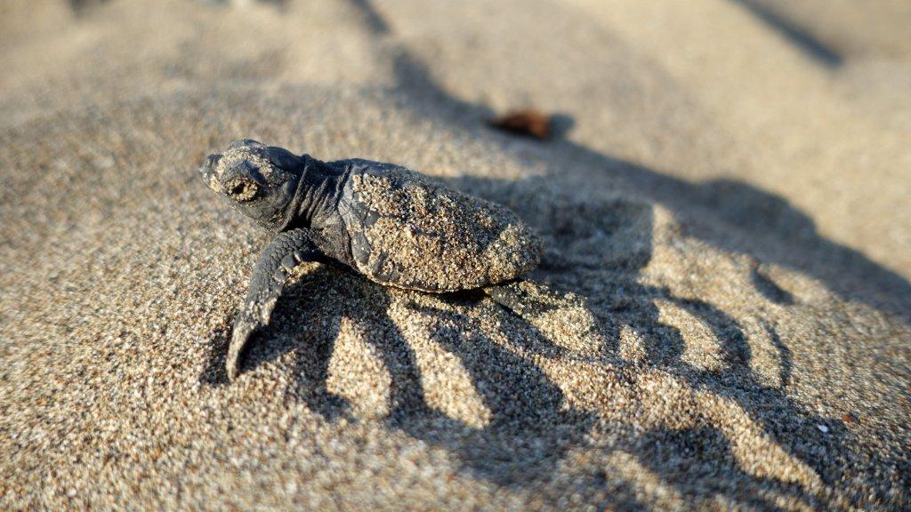 caretta caretta yavrusu kuma bulanmış