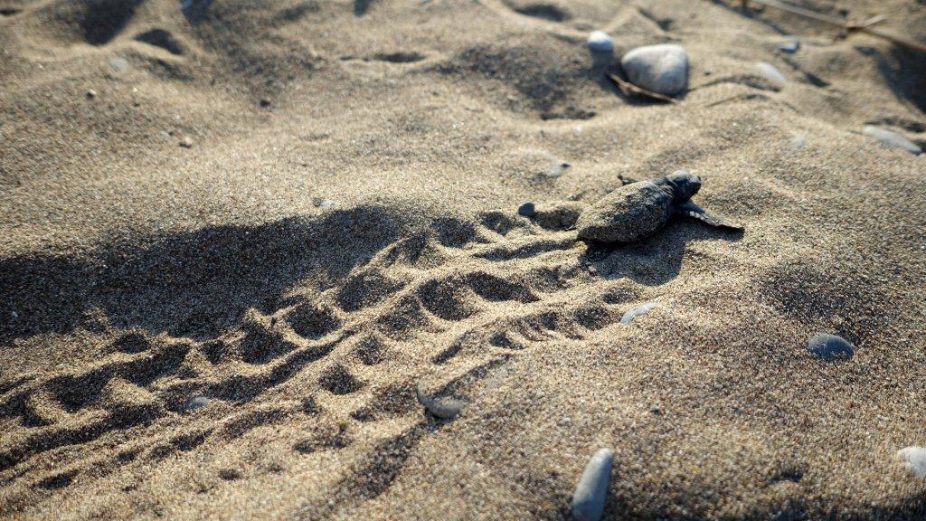denize doğru yolculuğa başlayan caretta caretta yavrusunun geride bıraktığı şahane izler
