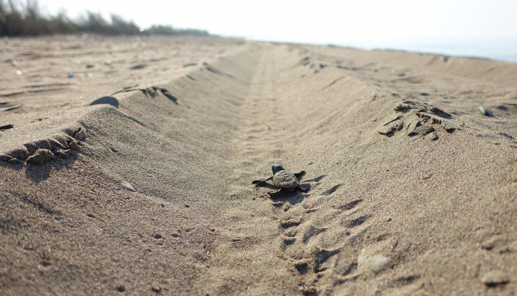 caretta caretta yavrusu kumda ilerliyor