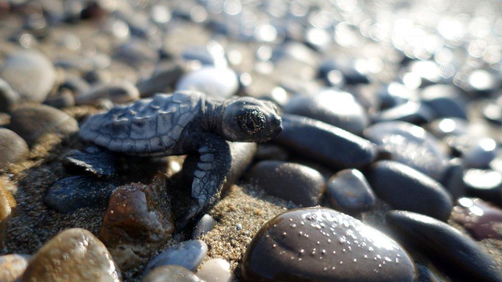 caretta caretta yavrusu denize ulaşmak üzere taşlar üzerinde