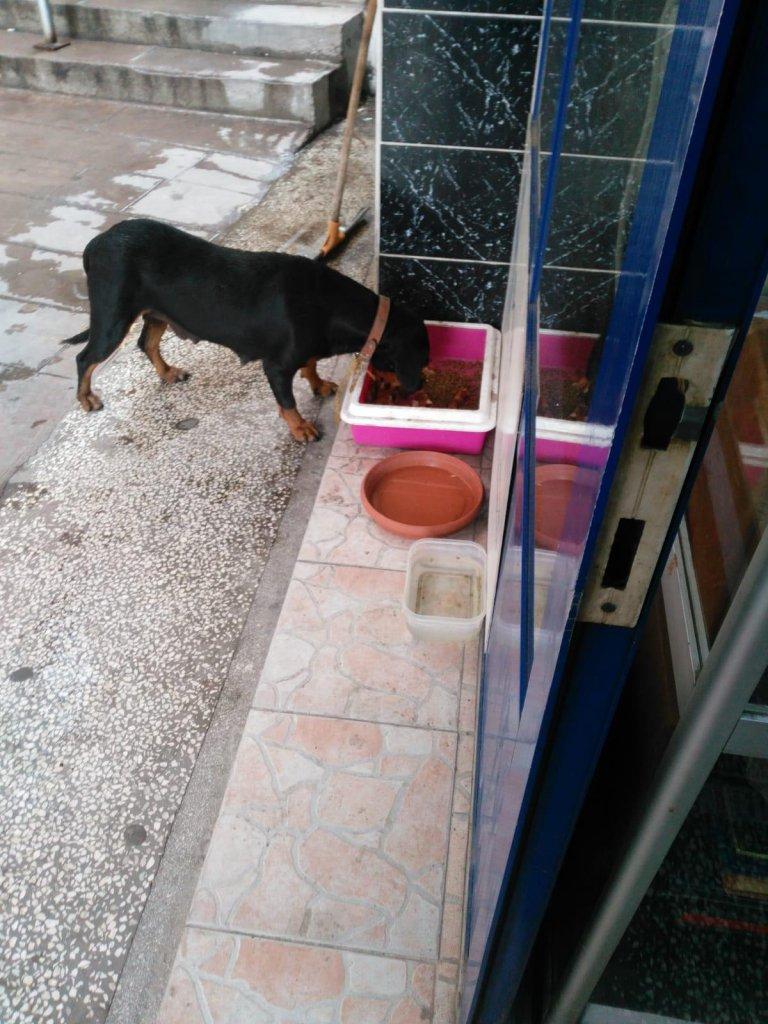 sokak hayvanları için bırakılan mamadan yiyen siyah bir sokak köpeği