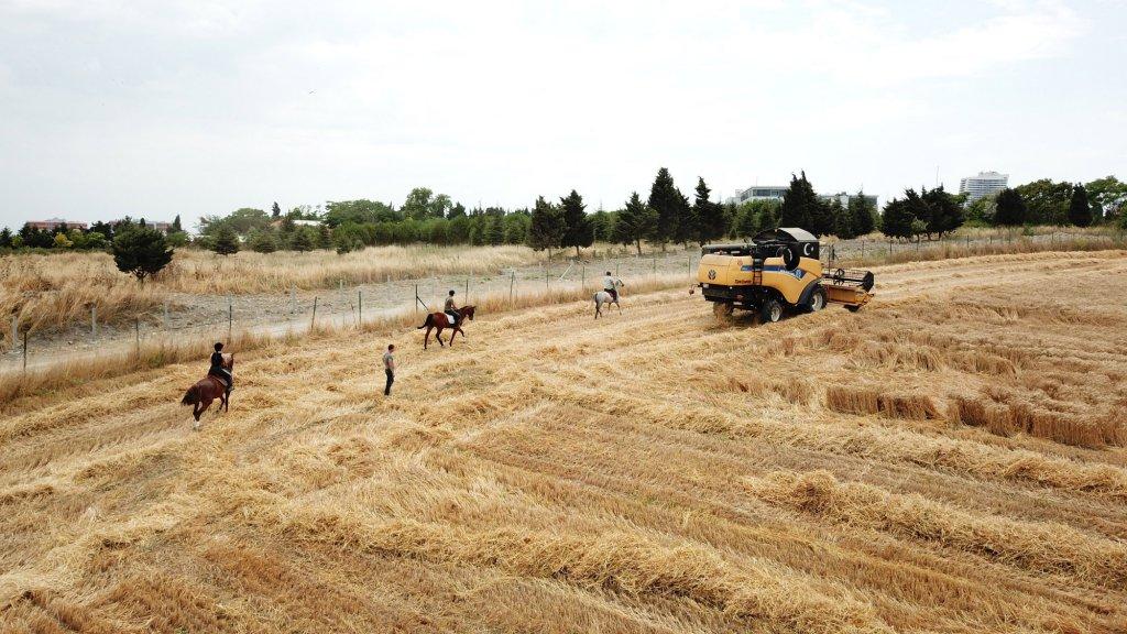 Avcılar kampüsünde 55 at için hububat ekimi yapıldı