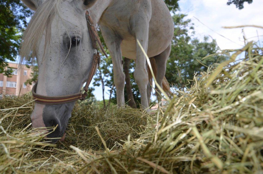 Cerrahpaşa Veteriner Fakültesinde bulunan at sayısı 55'e çıktı