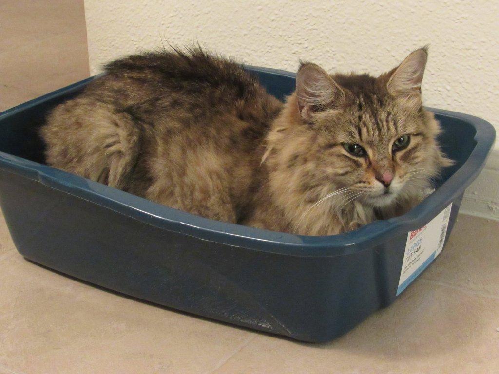 Yetişkin kedi kendisi için küçük bir tuvalette yatıyor.