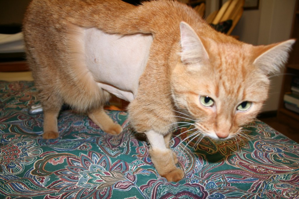Sağlık sebebi yüzünden bölgesel tıraş edilmiş sarman kedi