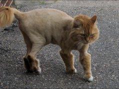 Aslan yelesi tıraşı