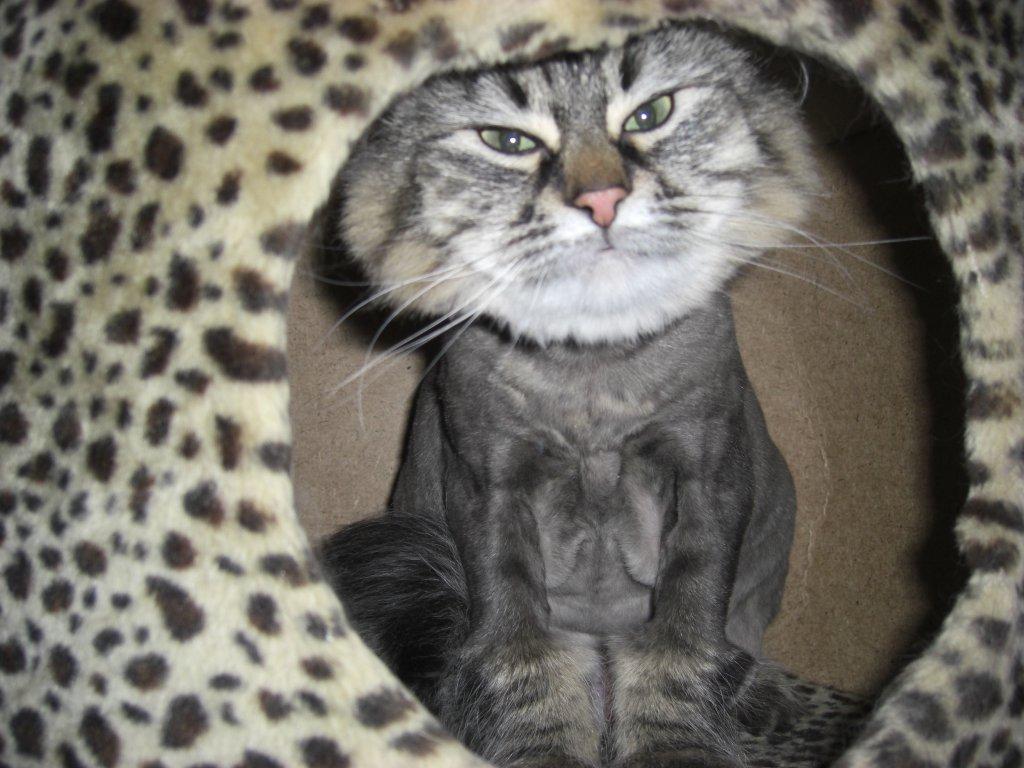 kedi evinde oturan tıraş edilmiş tekir kedi
