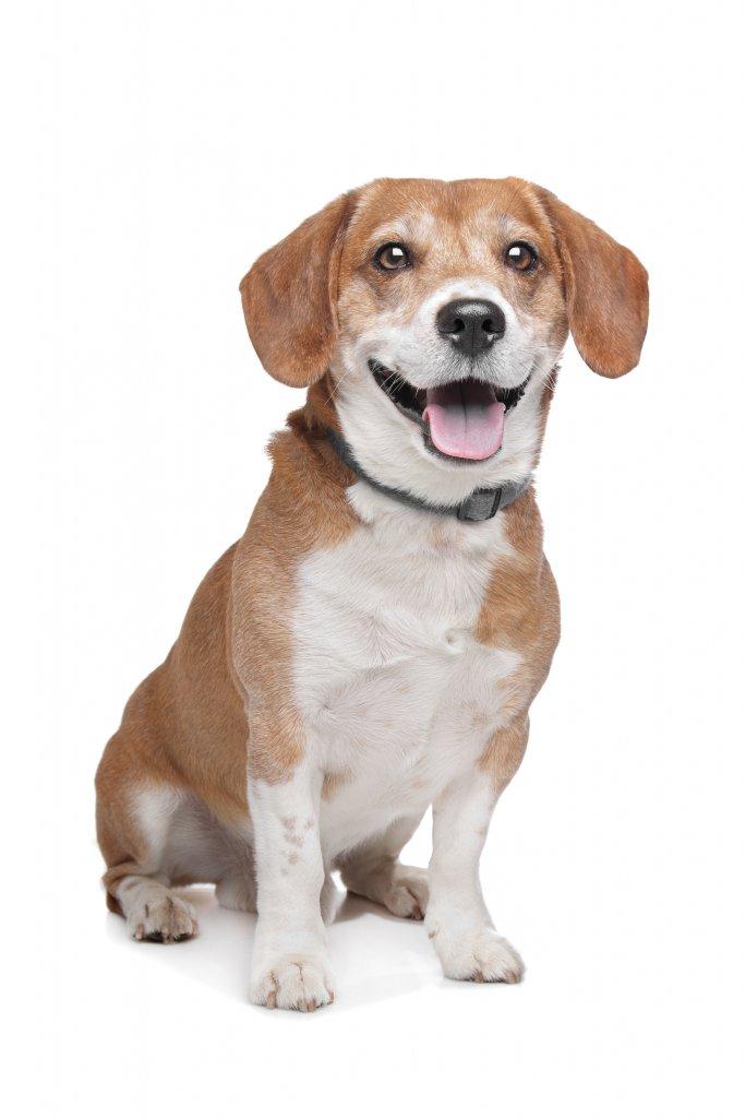 oturan beagle güler gibi poz vermiş