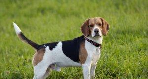 Erkek Beagle cinsi köpek çimlerin üzerinde yandan çekilmiş