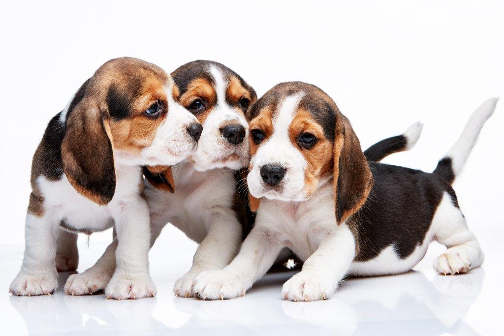 3 beagle yavrusu beyaz arka plan