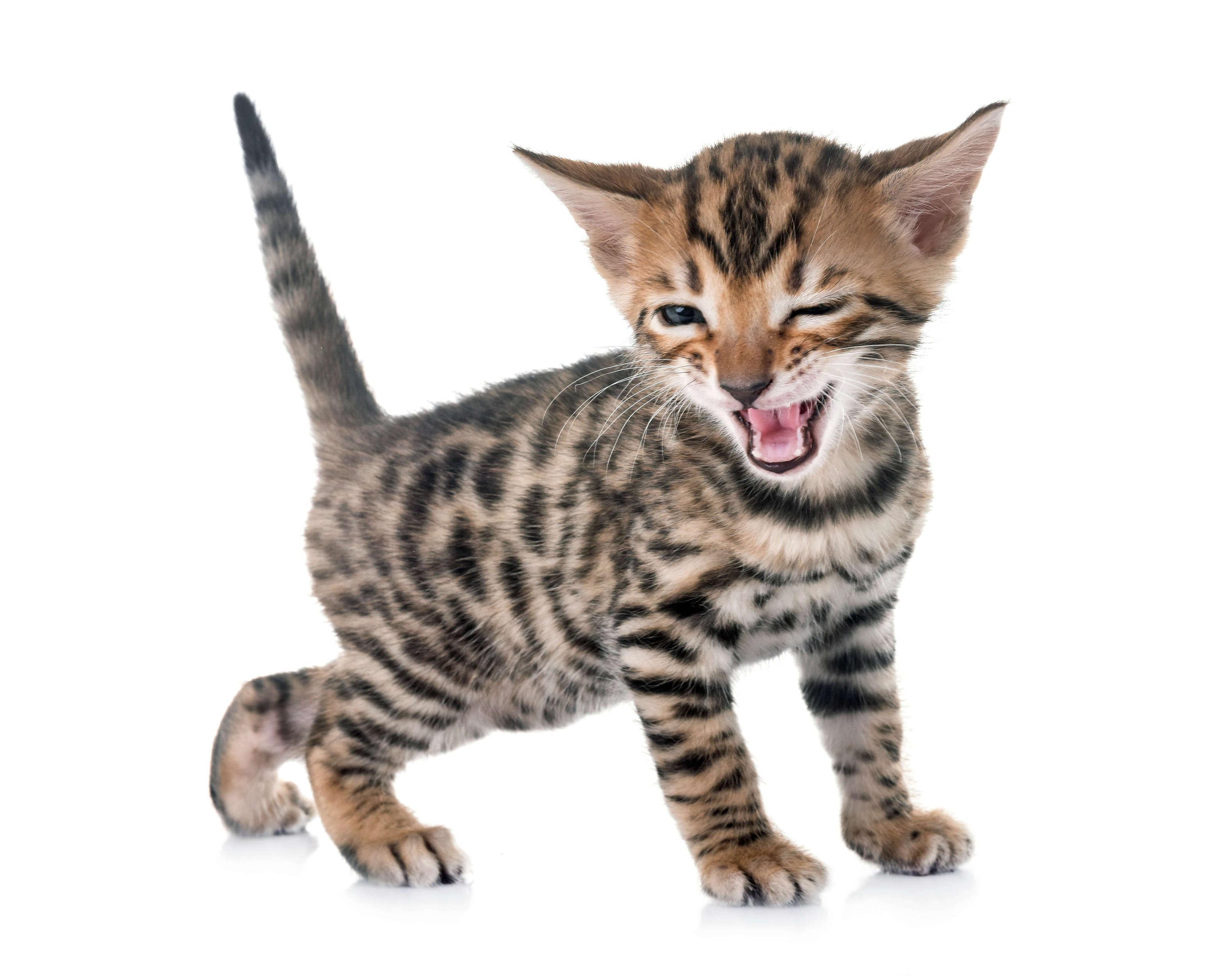 yavru bengal kedisi göz kırpar gibi poz veriyor