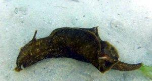 Çanakkale Dardanos mevkiinde deniz tavşanı görüntülendi.