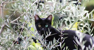 iki renk gözlü siyah kedi zeytin ağacında