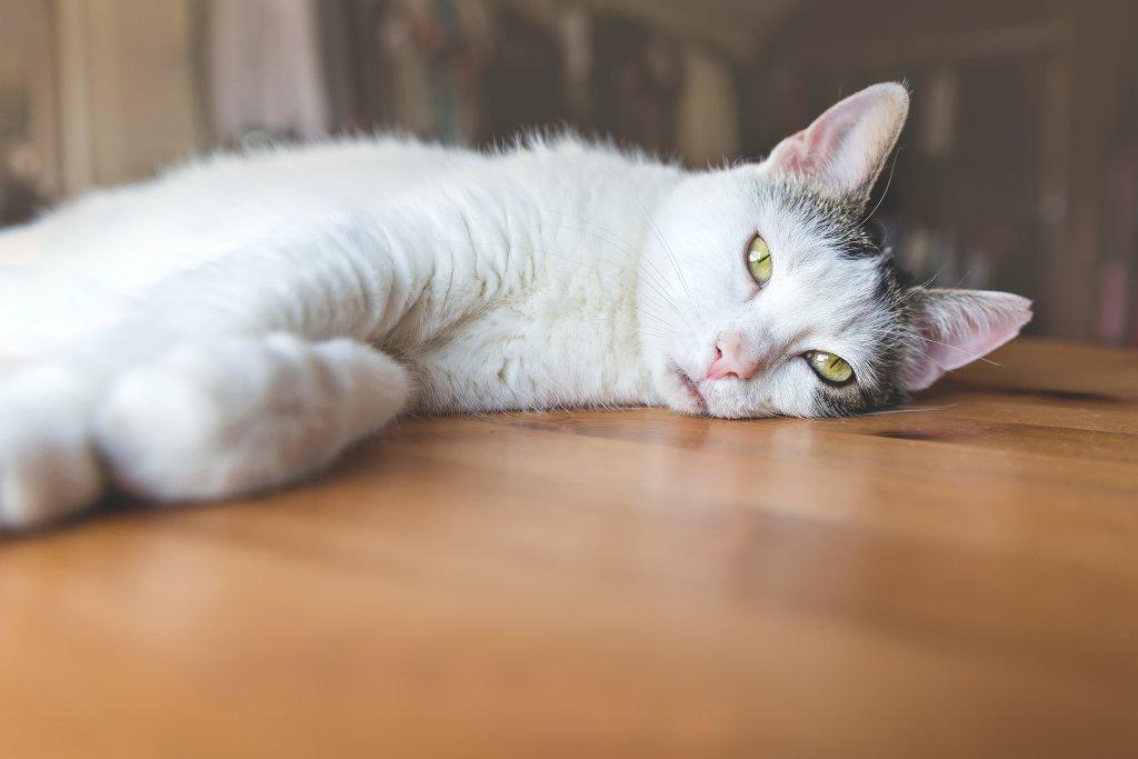 Kedi aşılarının yan etkileri genellikle küçük ve kısa ömürlüdür.