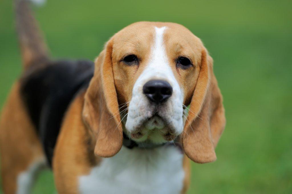 Beagle cinsi köpek yakın çekim