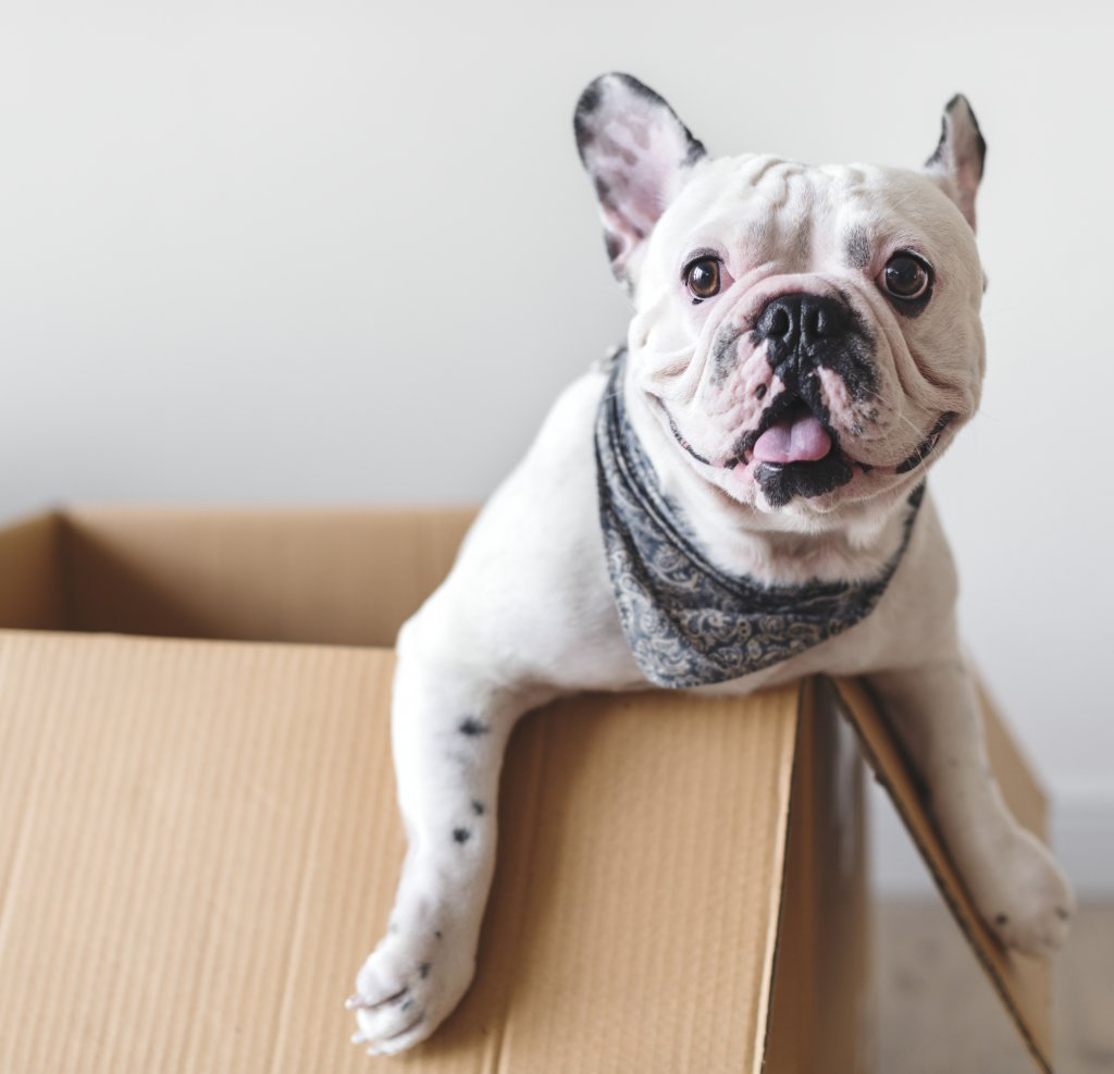Fransız Bulldog cinsi köpek karton koli içinde otururken resmedilmiş