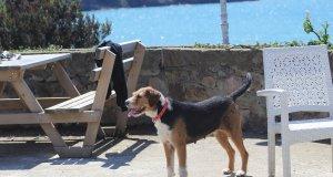 Denizde kaybolan müzik öğretmeninin köpeği, kıyıdan ayrılmıyor