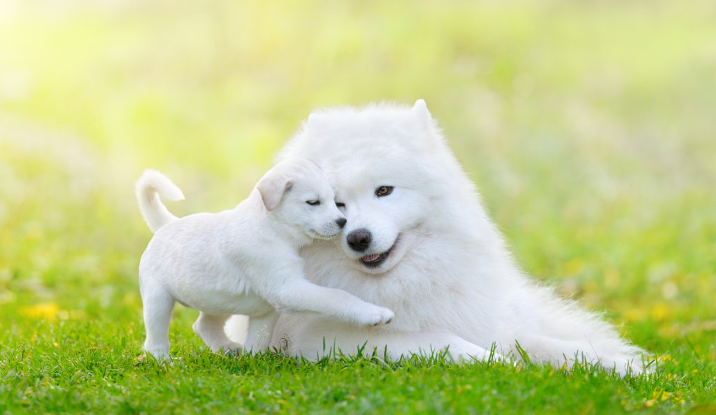 yavrusuyla çim üzerinde oynayan samoyed cinsi köpek