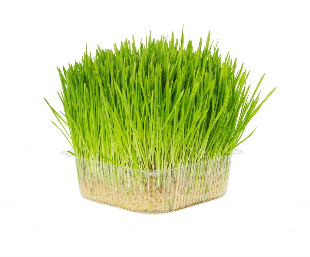 Kedi çimi, bir çim türü değil birkaç kediler için faydalı tohum karışımıdır.