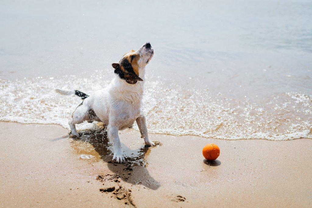 Kumsalda top ile oynayan Jack Russell Terrier Köpeği