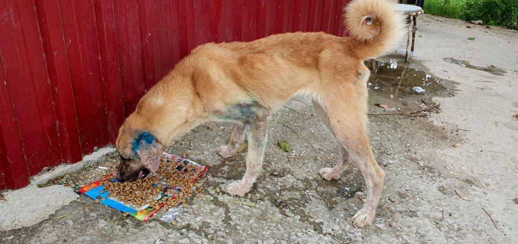 tedavisi devam eden sokak köpeği mama yiyor.