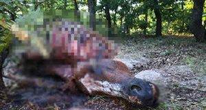 Çağrıbey önce çalındı, sonra etleri kesilip ormanlık alanda bırakıldı. Sansürlü resim.