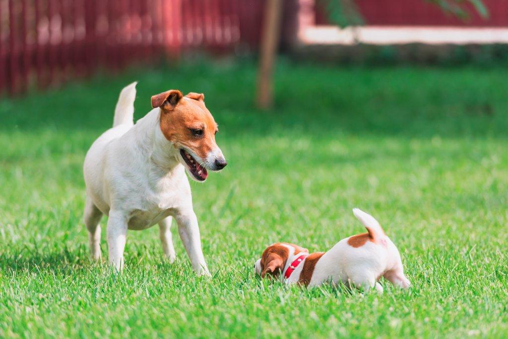 Yavru ve yetişkin Jack Russell Terrier çim üstünde oyun oynuyor