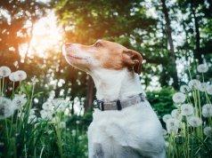 Jack Russell cinsi köpek
