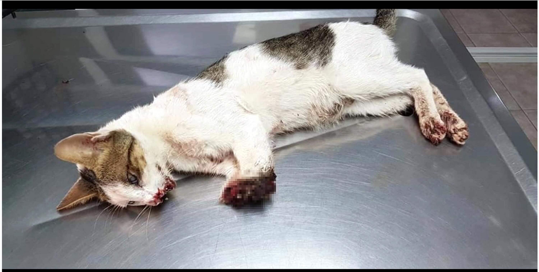 Marmaris'te 2 bacağı kesilen kedinin sansürlü resmi