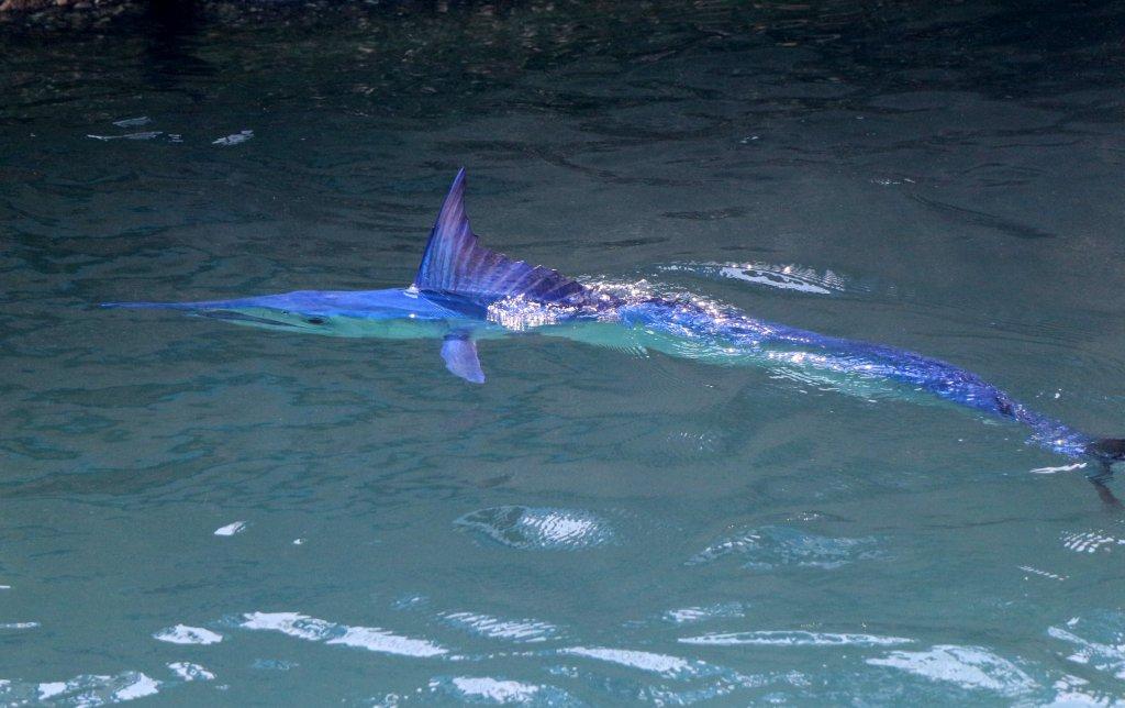 Suda yüzen mavi yelken balığı