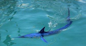 Mavi yelken balığı antalya kemer'de görüldü