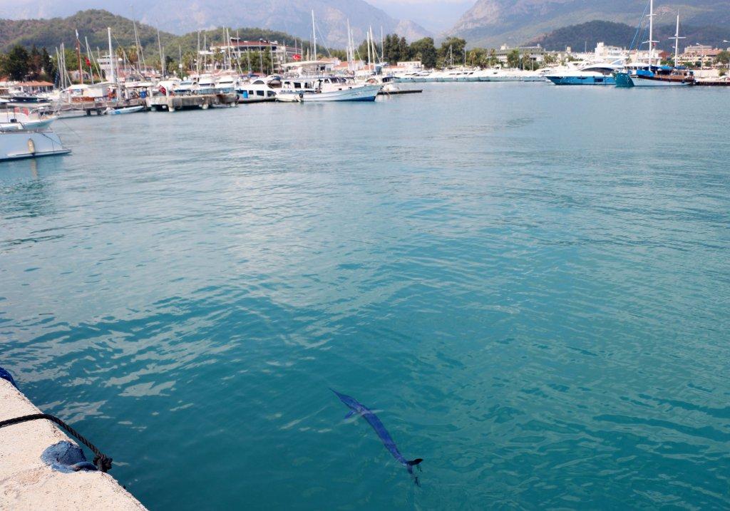 Antalya Kemer G Marina'da mavi yelken balığı görüldü