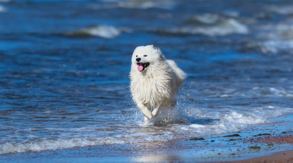 sahilde koşan mutlu samoyed