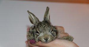 selde yaralanan yavru yaban tavşanı