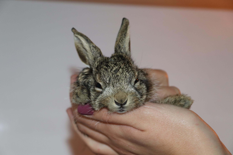 Selde yaralanan yaban tavşanının bacağına platin takıldı