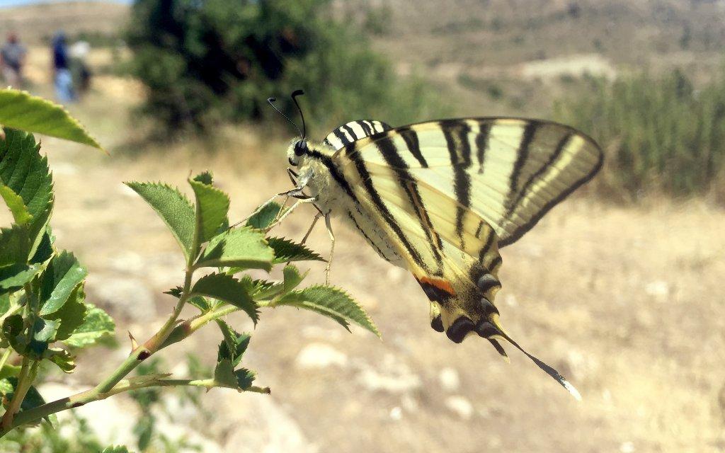 Sivas'ta görülen zebra çatal kuyruklu kelebeğin yandan resmi
