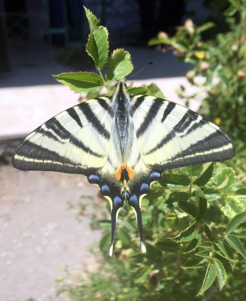Türkiye'de ender rastlanan güzel kelebek herkesi hayran bıraktı